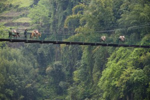 Horses cross a narrow suspension bridge on the Nujiang River, Yunnan, China. Near Fugong.